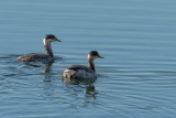 grebes__loons