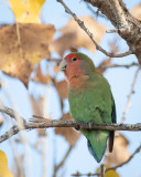 Peach-faced Lovebird