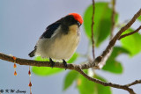 Scarlet-backed Flowerpecker DSC_0766