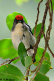 Scarlet-backed Flowerpecker DSC_0747
