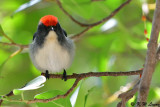 Scarlet-backed Flowerpecker DSC_1227