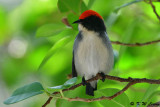 Scarlet-backed Flowerpecker DSC_1691