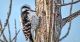 Woodpecker Pecking P1050508