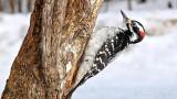 Woodpecker Looking Up P1050559