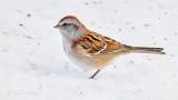American Tree Sparrow P1050536