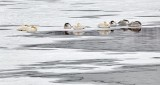 Eight Swans Asleeping P1060122-4
