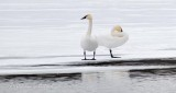 Two Swans On Ice P1060082