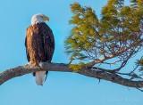 Perched Bald Eagle P1060182