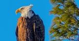 Bald Eagle Perched In Wind P1060173 (crop)