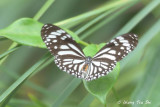 Borneo Butterfly, Moth and Caterpillar