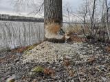 BäverEurasian BeaverCastor fiber