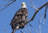 American Bald Eagle - 2019