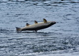 Flygande lax, flying salmon, (salmo salar)