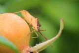 Gonocerus acuteangulatu