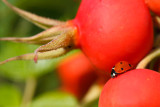 Biedronka siedmiokropka (Coccinella septempunctata)