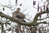 Oriental Turtle Dove, subspecies meena / Oosterse Tortel, ondersoort meena