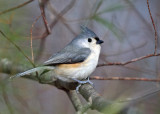 Tufted Titmouse - Baeolophus bicolor
