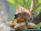 Variegated Squirrel - Sciurus variegatoides