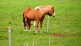 Icelandic Horses, Iceland 237
