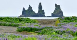 Field of Lupine,  Reynisdrangar and Blasandi,  Basalt Sea Stacks, Vik, Iceland 402