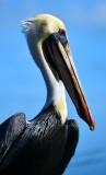 Pelican at Robbie's, Florida Keys, Florida 089