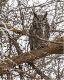 Great Horned Owl   (dark day)