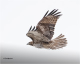 ( Frosty) Red-tailed Hawk