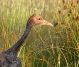 Ringing Eurasian Cranes