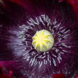 IMG_8386.CR3 Poppy - Sissinghurst Castle Garden - © A Santillo 2019