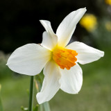 IMG_8587.jpg Daffodil - Cotehele House - © A Santillo 2020