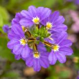IMG_8152.jpg Fairy Fan-flower or Common Fan-flower Scaevola aemula - © A Santillo 2020