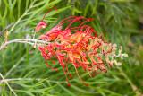 IMG_8575.jpg Grevillea 'Superb' - Proteaceae - © A Santillo 2020