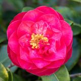 IMG_8597.jpg Camellia - Saltash - © A Santillo 2020
