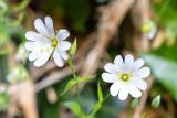 IMG_8744.jpg Stellaria holostea, the addersmeat or greater stitchwort - Saltash - © A Santillo 2020