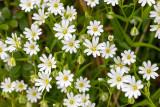 IMG_8750.jpg Stellaria holostea, the addersmeat or greater stitchwort - Saltash - © A Santillo 2020