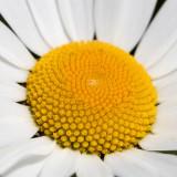 IMG_8814.jpg Ox-eye daisy - Saltash - © A Santillo 2020