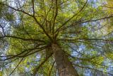 CRW_01133.jpg Tree canopy Raddick Plantation Dartmoor -  © A Santillo 2004