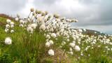 IMG_4335.jpg Cotton Grass - Eriophorum angustifolium - Craig Cerrig-gleisiad Brecon Beacons Wales - © A Santillo 2013