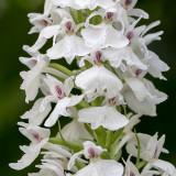 IMG_6442-Edit.jpg Western Marsh Orchid (Dacrylorhiza Majalis) - Sausmarez Manor, Saint Martin - © A Santillo 2014