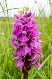IMG_7018.CR2 Southern Marsh Orchid 'Dactylorhiza praetermissa' (subspecies praetermissa) - © A Santillo 2016