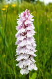 IMG_7021.CR2 Spotted Orchid 'Dactylorhiza fuchsii' - © A Santillo 2016