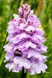 IMG_7023.CR2 Pyramidal Orchid Anacamptis pyramidalis - © A Santillo 2016