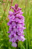 IMG_7024.CR2 Spotted Orchid 'Dactylorhiza fuchsii' - © A Santillo 2016