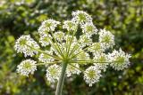 IMG_8709.jpg Cow parsley - Wearde, Saltash - © A Santillo 2020