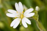 IMG_8748.jpg Stellaria holostea, the addersmeat or greater stitchwort - Saltash - © A Santillo 2020