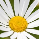 IMG_8755.jpg Ox-eye daisy - Saltash - © A Santillo 2020