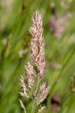 IMG_8788.CR3 Yorkshire fog grass flowers when mature - © A Santillo 2020