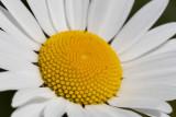 IMG_8812.jpg Ox-eye daisy - Saltash - © A Santillo 2020
