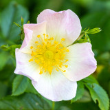 IMG_8817.jpg Dog rose - Saltash - © A Santillo 2020