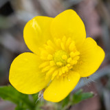 IMG_8856.jpg Yellow Pimpernel - Saltash - © A Santillo 2020